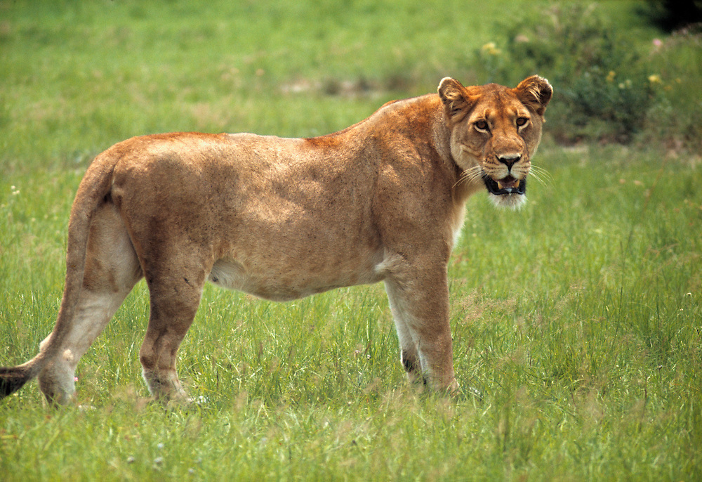 A lioness waits for the rest of her pride in Queen Elizabeth National Park in Uganda.