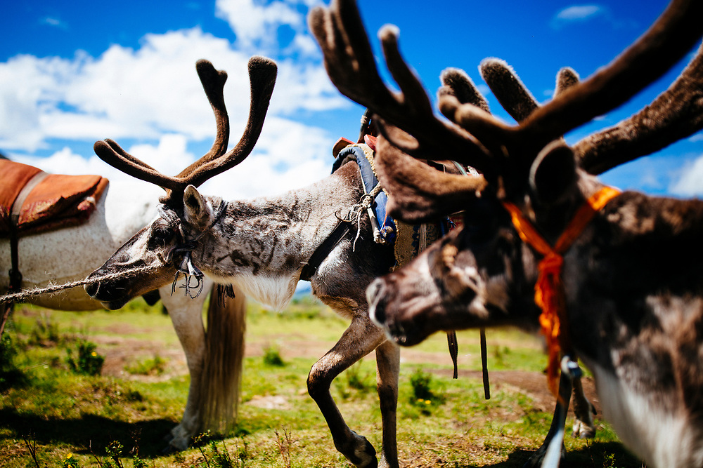 Reindeer are saddled for riding into the rocky mountains of the East Taiga in the wild and remote north of Mongolia.