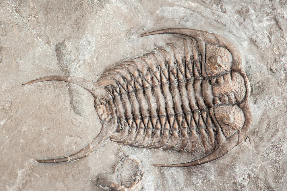 Gabriceraurus dentatus (sagittal length: 59mm) is a near perfect three-dimensional phacopid trilobite collected from the Bobcaygeon Formation in the Cavanaugh Quarry in Ontario.