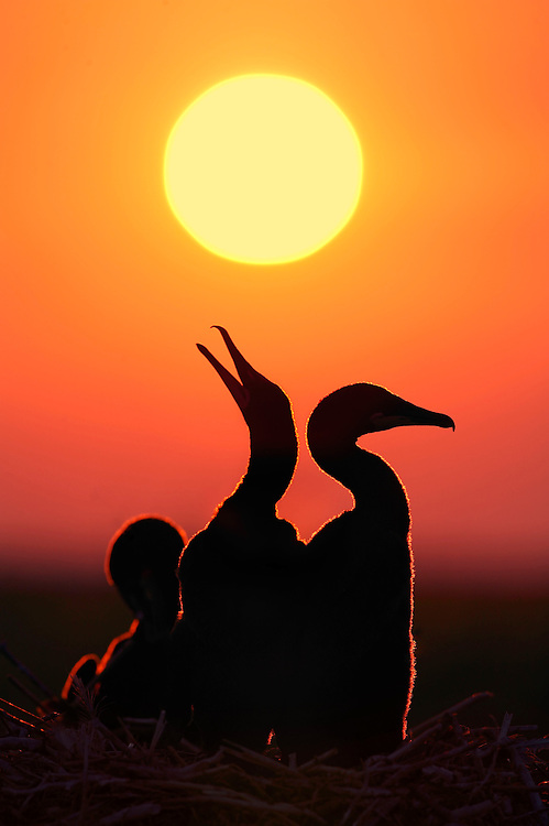 Cormorant chicks greet the rising sun, Chesapeake Bay, USA.