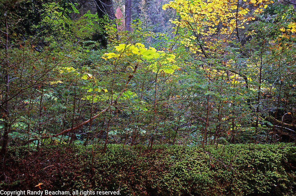 Western hemlock saplings growing out of a nurse log in an old-growth forest in fall. Scotchman Peaks Roadless Area int the Cabinet Mountains, Montana