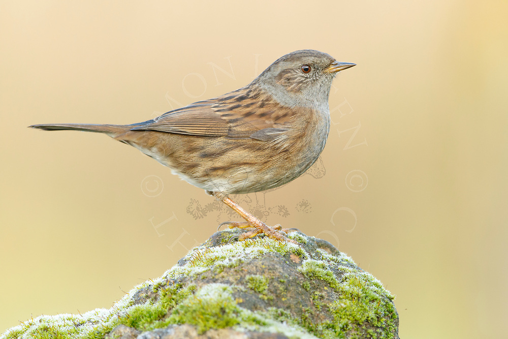 Dunnock (Prunella modularis) adult perched on moss covered stone, South Norfolk, UK. November.