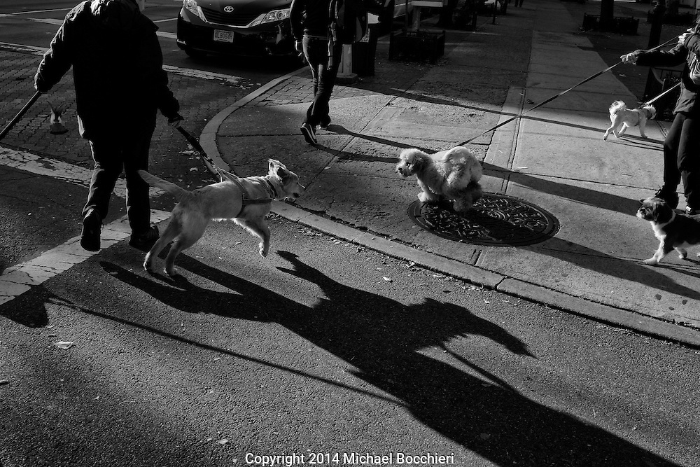 NEW YORK, NY - November 10:  A group of dogs pass on the street on November 10, 2014 in NEW YORK, NY.  (Photo by Michael Bocchieri/Bocchieri Archive)