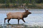 American elk or wapiti