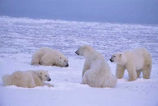 Polar Bear, (Ursus maritimus)  Group of males waiting for bay to freeze. Cape Churchill, Manitoba. Canada.