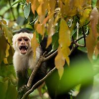 Costa Rica, Alajuela,  White Faced Capuchin (Cebus capucinus) (Captive)