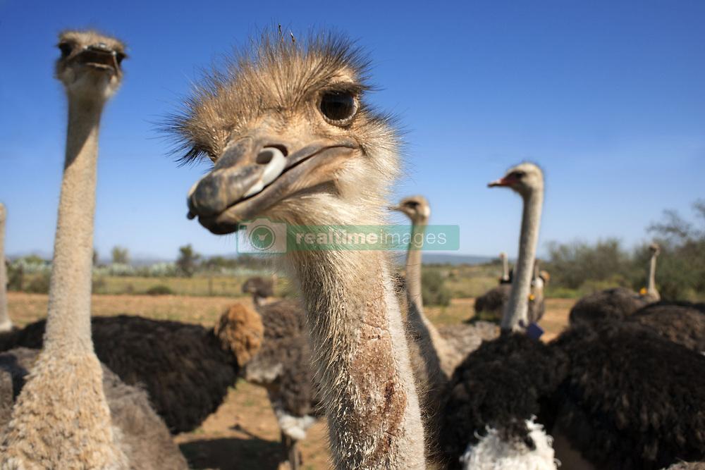 September 30, 2018 - South Africa - Safari ostrich show farm Oudtshoorn, Little Karoo, South Africa, Africa (Credit Image: © Sergi Reboredo/ZUMA Wire)