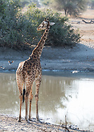 A Massai Giraffe (Giraffa camelopardalis) at a watering hole in Tarangire National Park, Tanzania, Africa