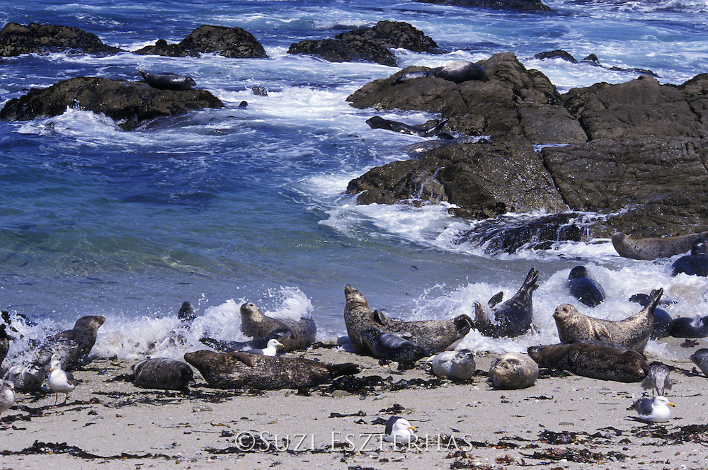 Harbor Seal <br /> Phoca vitulina<br /> Hauled out along shore surprised by wave<br /> Monterey Bay, CA, USA<br /> Seals often hault out close to or on the shoreline for easy access to water in case of danger. Often waves during rising tide surprise resting seals.