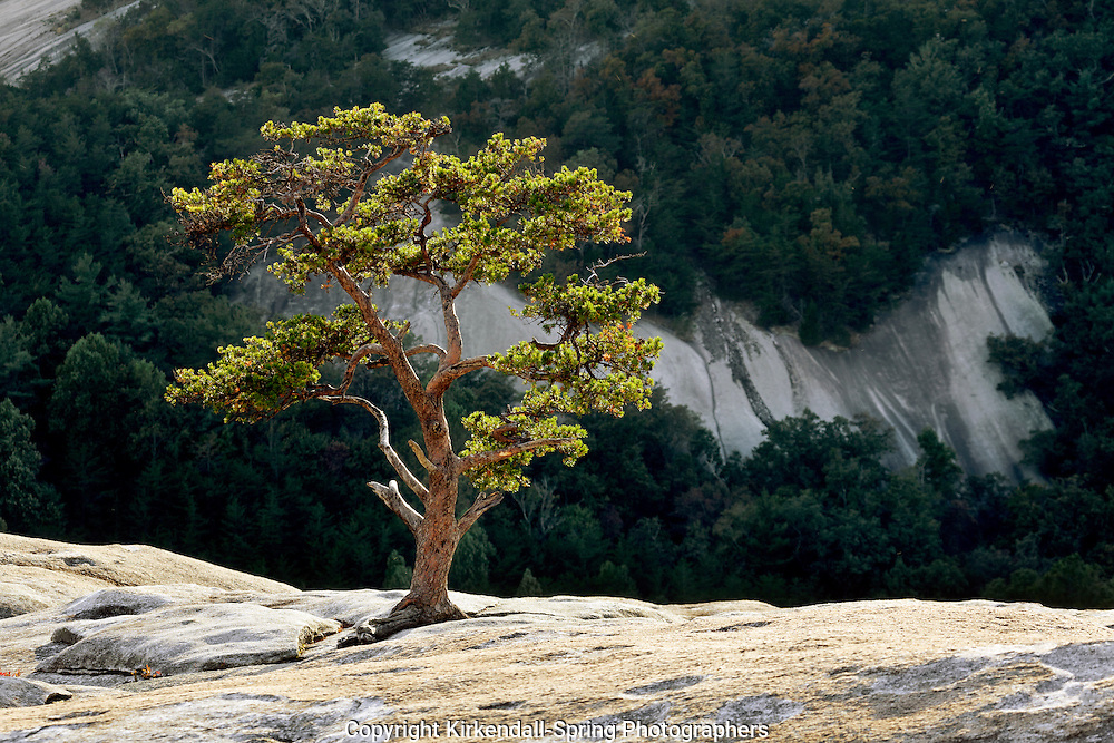 NC00376-00...NORTH CAROLINA - Lone tree on the summit of Stone Mountain in Stone Mountain State Park.