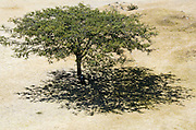 A guaje tree (Leucaena leucocephala) casts a lacy shadow on the Gran Plaza of Monte Alban, Oaxaca, Mexico.