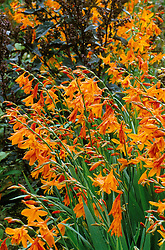Crocosmia 'Star of the East' with Atriplex hortensis rubra at Great Dixter