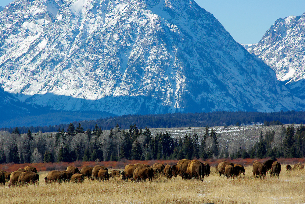 Bison in Grand Teton National Park, Jackson Hole, Wyoming