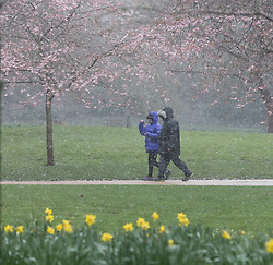 © Licensed to London News Pictures. 17/03/2018. London, UK. A couple walk past daffodils and blossom in St James's Park during snow and windy weather this morning. Photo credit: Vickie Flores/LNP