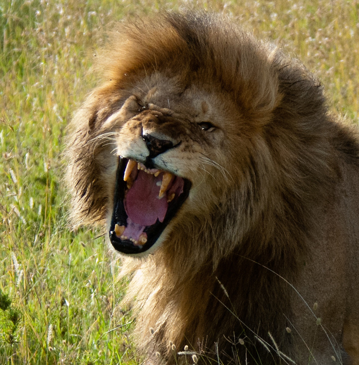 The Roaring Lion - Simba