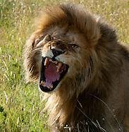 Lions - Simba