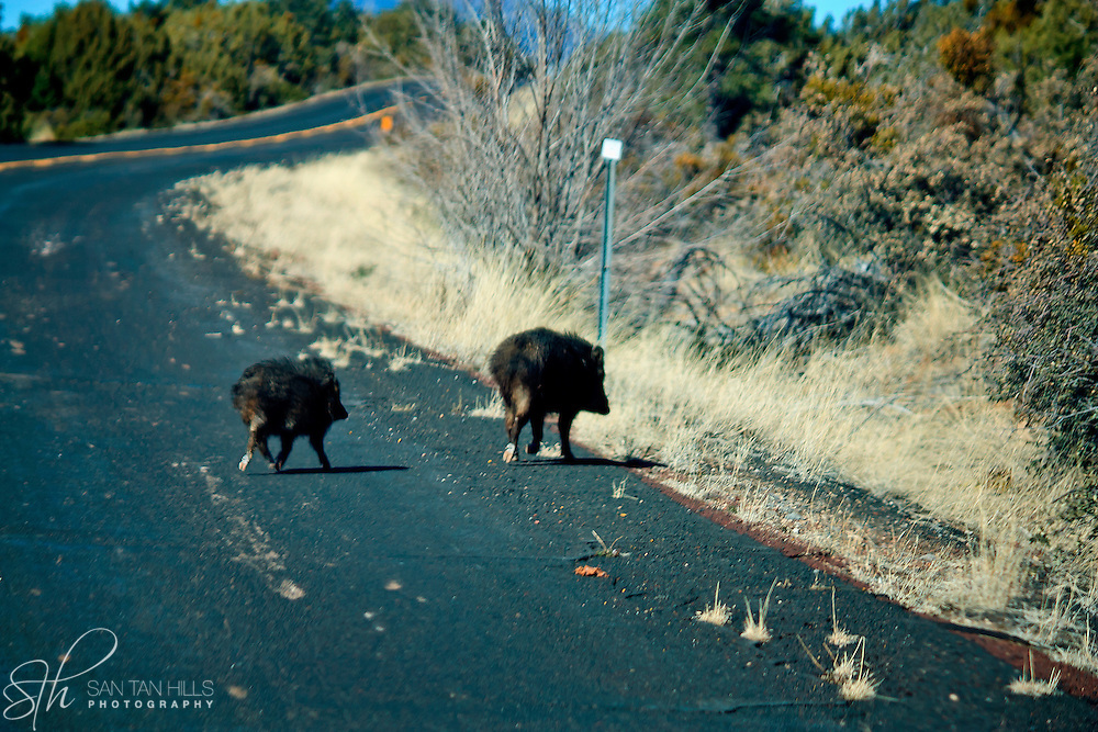 A couple of Javelina crossing Perkinsville Rd - on the road to Williams, AZ