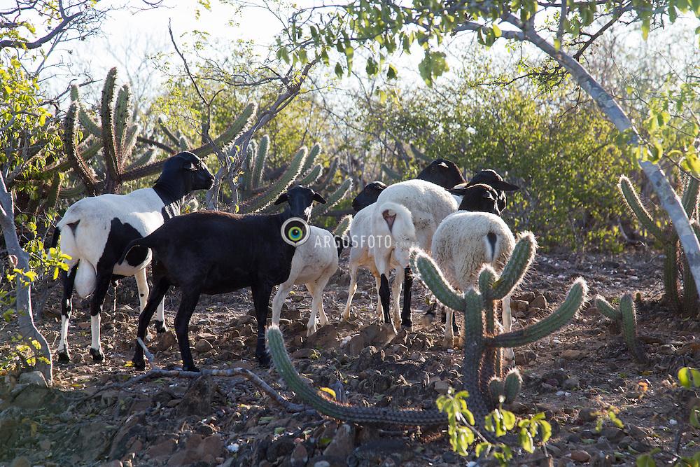 Cabras em pequena  propriedade rural. Sitio dos Bila, regiao do semiarido pernambucano./Goats on a small farm. semiarid . Serrita-PE. Ano 2014 . Foto Adri Felden/Argosfoto