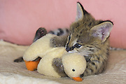 Serval<br /> Felis serval<br /> Five week old orphan serval kitten playing with plush toy duck<br /> Tanzania
