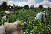 Farmers in a green peppers plantation surrounding the village of Pak Ok, where the first case of surrogate motherhood was recorded.<br /> Lom Sak, Petchabun province, Thailand. Aug 25 2014<br /> Credit : Giorgio Taraschi for The New York Times