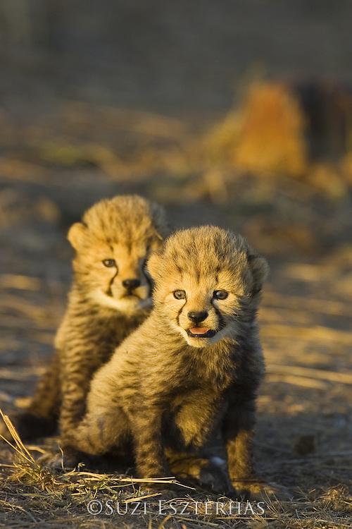 Cheetah<br /> Acinonyx jubatus<br /> 18 day old cubs at sunrise<br /> Maasai Mara Reserve, Kenya
