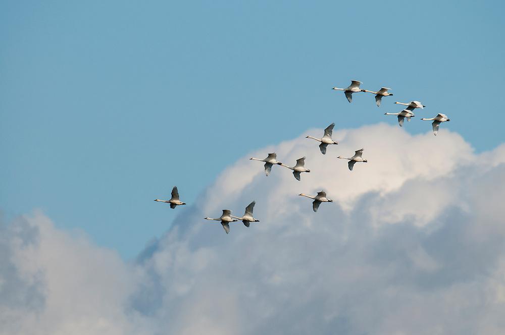 Tundra Swans; Cygnus columbianus, Detroit River, Ontario