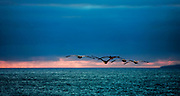 Brown Pelicans Flying Into The Sunset