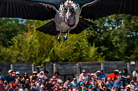 Marabout (Leptoptilos). <br /> Considere comme l'un des plus importants parcs ornithologiques en Europe, le Parc des Oiseaux presente une collection d'oiseaux exceptionnelle de plus de 3000 individus, representant pres de 300 especes originaires de tous les continents.<br /> Exclusivites: Le spectacle d'oiseaux en vol, tous les jours, est un veritable festival de couleur