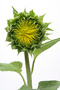 sunflower with opening up flower head