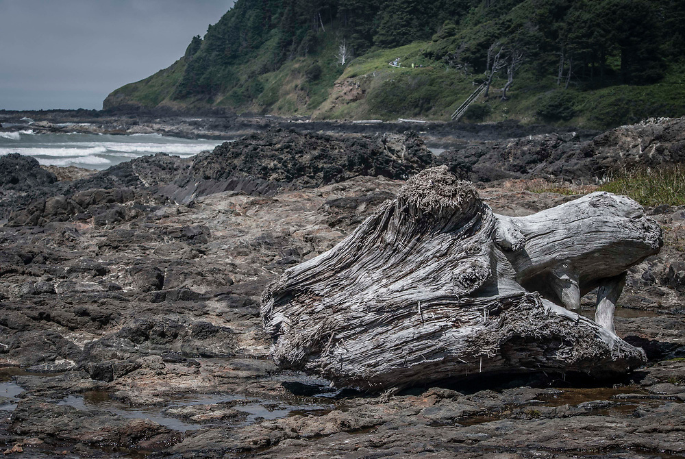 A large tree root washed up on the rocky coast of Oregon. USA.
