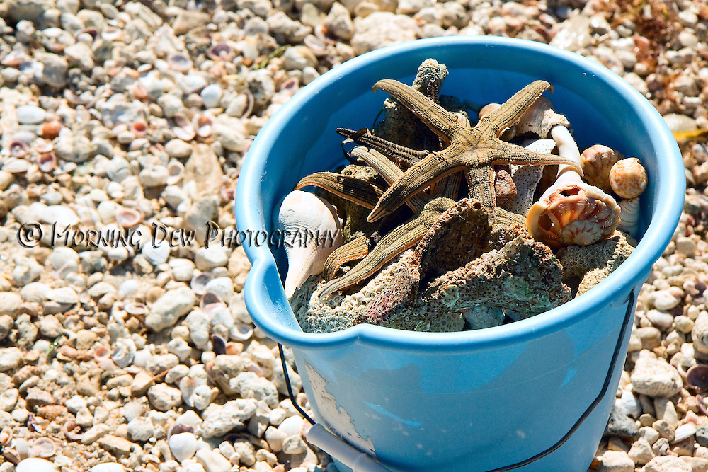 A collection of shells and sea stars fill a beachcomber's pail on Honeymoon Island.