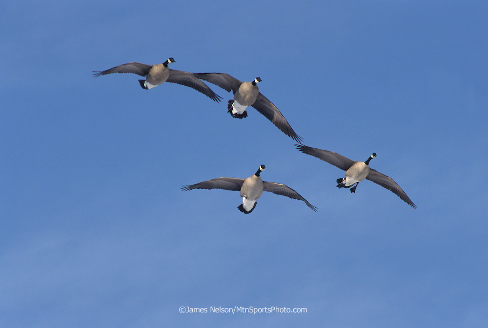 26-125. Canada geese set their wings before landing on a pond in southern Idaho.