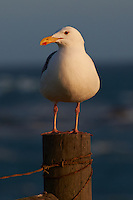 Herring Gull at Piedras Blancas Beach, Central California Coast. Image taken with a Nikon D3x and 70-300 mm VR lens (ISO 100, 300 mm, f/8, 1/500 sec).