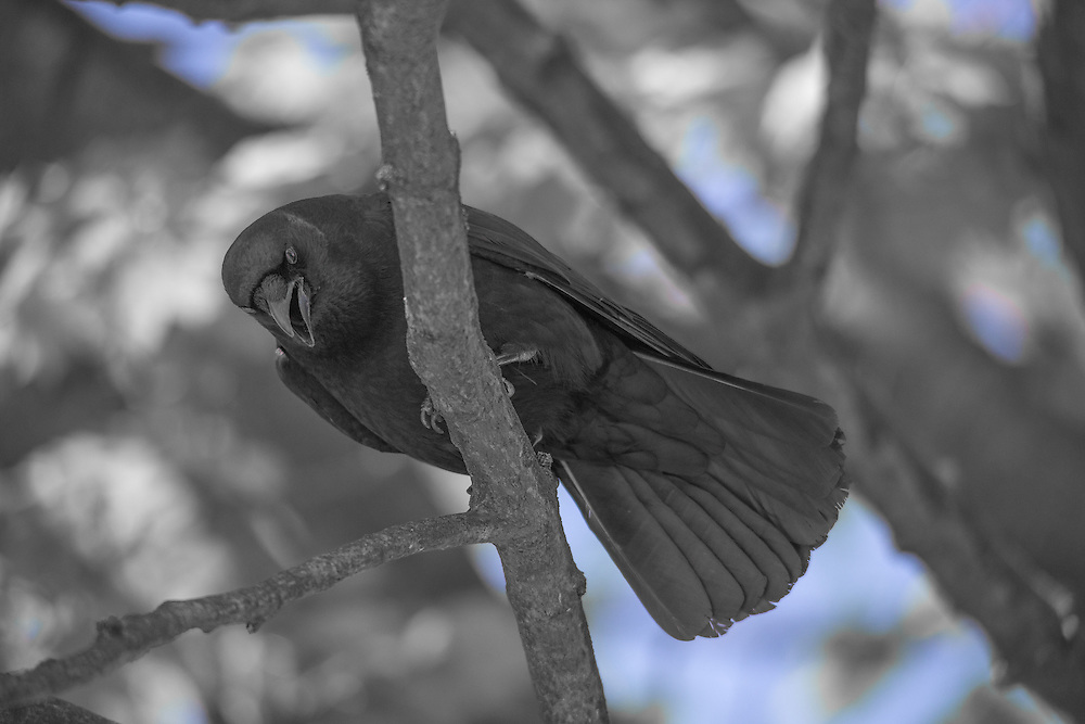Crow perched on a branch.