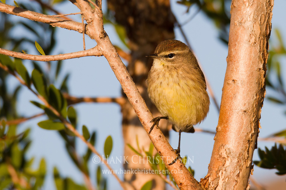 A palm warbler perches on a tree branch in early morning light, Redwood Shores, CA