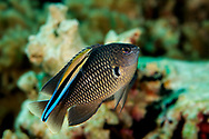 Bluestreak Cleaner Wrasse, Labroides dimidiatus (Valenciennes, 1839), Maldives