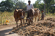 Dansingh uses his cows to helps seperate the recently harvested grain from the plant.<br /> <br /> Dansingh has recently made the switch from conventional cotton farming to organic. He has also expanded to grow more vegetables.<br /> <br /> He can remember his father used to farm organic cotton.