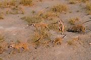 Meerkat or Suricate (Suricata suricatta) Burrow<br /> Makgadikgadi Pans, Kalahari Desert<br /> Northeast BOTSWANA<br /> HABITAT &amp; RANGE: Kalahari Desert in Botswana, Namib Desert of Namibia, Angola and South Africa