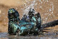 Badender Mevesglanzstar (Lamprotornis mevesii) im Schutzgebiet Tuli Block, Botswana<br /> <br /> Bathing Meves's starling or Meves's glossy-starling (Lamprotornis mevesii) in the private game reserve Tuli Block, Botswana