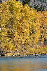 """Fisherman on the Truckee River"" - This fisherman was photographed on the Truckee River with yellow leaved cottonwood trees in the background, during autumn."