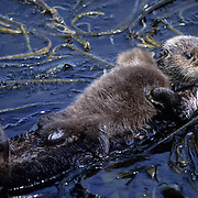 Sea Otter, (Enhydra lutris) Mother and baby in kelp. Aleutian Islands. Alaska.