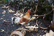 Hens peck at deer and goat skulls and antlers remains lie in rain after Pennyghael Estate cull, Isle of Mull, Scotland. The open seasons for deer stalking in Scotland are: Red deer – stags 1st July – 20th October Red deer – hinds  21st October – 15th February Roe bucks 1st April – 20th October.Fallow bucks 1st August – 30th April. http://www.pennyghael.org.uk/Community/Storage/index.htm