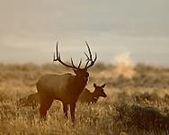 Bugling Bull Elk, Sunrise, Grand Teton National Park