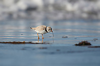 Piping plover (charadrius melodus) foraging along tide line, Cherry Hill Beach, Nova Scotia, Canada,