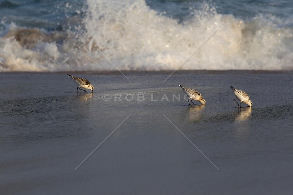 terns feeding at the beach in East Hampton, NY