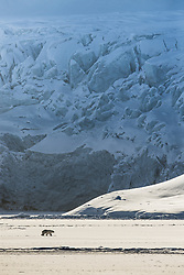 Polar bear (ursus maritimus) in the snow in Hornsund , Spitsbergen, Svalbard, Norway