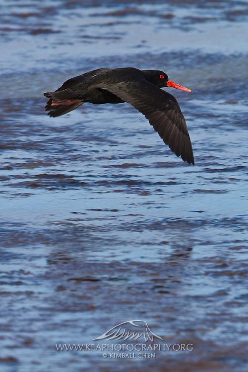 Variable Oystercatcher flying over Awarua Wetlands, Southland, New Zealand