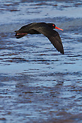 Variable Oystercatcher flying over Awarua Wetlands, Southland, New Zealand