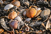 Image 3 of sea shells on Ocean Isle Beach early in the morning.