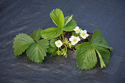 Strawberries planted through plastic membrane used to protect plants from slugs and snails and reduce weeds